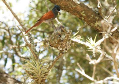 Paradise Flycatcher - Female