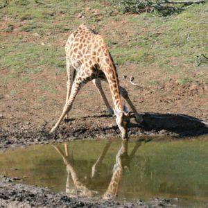 giraffe-drinking